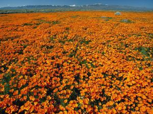 Waves of California Poppies Reach Towards Snow-Covered Mountains by Jonathan Blair