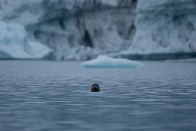 A harbor Seal at Bear Glacier in Kenai Fjord National Park. by Jonathan Irish