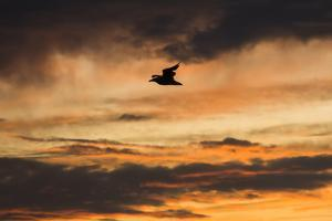 A Seagull in Flight in a Golden Sky at Sunset by Jonathan Irish