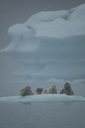 Harbor Seals in Bear Glacier of Kenai Fjords National Park. by Jonathan Irish