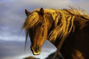 Portrait of An Icelandic Pony in Warm Sunlight by Jonathan Irish