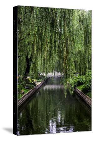 The Branches of a Weeping Willow Tree, Salix Babylonica, Hanging over a Calm Waterway