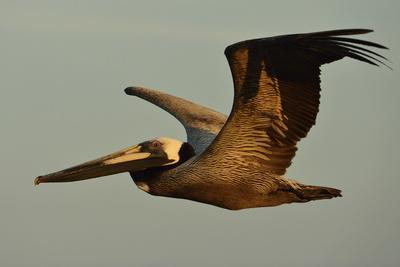 A Brown Pelican, Pelecanus Occidentalis, Soaring Against a Warm Blue Sky in Panama