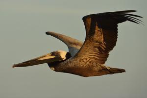 A Brown Pelican, Pelecanus Occidentalis, Soaring Against a Warm Blue Sky in Panama by Jonathan Kingston