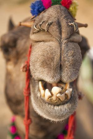 Close Up Portrait of a Smiling, Toothy Camel, Camelus Species