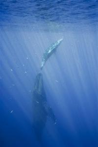 Friendly Mother and Calf Humpback Whale (Megaptera Novaeangliae) by Jonathan Kingston
