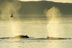 Geysers of Spray from Two Humpback Whales Exhaling in Inside Passage by Jonathan Kingston