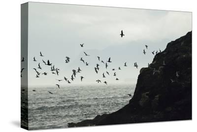 Glaucous-Winged Gulls and Pelagic Cormorants Take Flight from the Rocky Shore of the Inian Islands