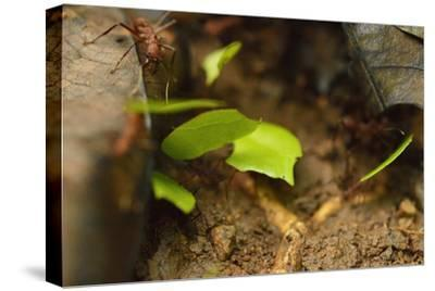 Leafcutter Ants Carry Leafs Back to their Colony on Barro Colorado Island