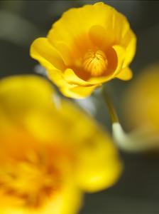 California Poppy I by Jonathan Nourock