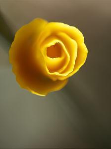 California Poppy II by Jonathan Nourock