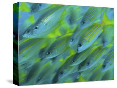 Abstract Close-Up of Snapper Fish, Raja Ampat, Papua, Indonesia