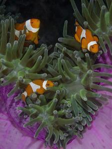Clownfish Swim Among Anemone Tentacles, Raja Ampat, Indonesia by Jones-Shimlock