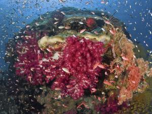 Colorful Corals on Reef, Raja Ampat, Papua, Indonesia by Jones-Shimlock