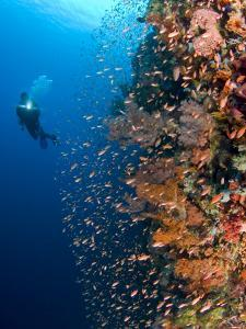 Diver With Light Next To Vertical Reef Formation, Pantar Island, Indonesia by Jones-Shimlock
