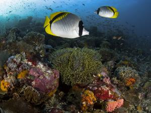 Lined Butterflyfish Swim Over Reef Corals, Komodo National Park, Indonesia by Jones-Shimlock