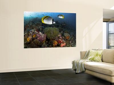Lined Butterflyfish Swim Over Reef Corals, Komodo National Park, Indonesia