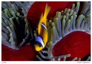 Red Sea Anemonefish by Jones-Shimlock