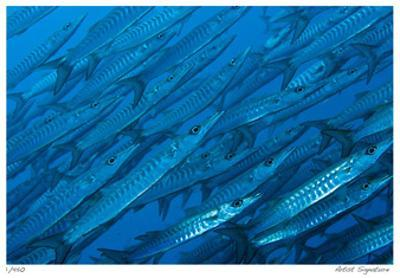 Schooling Barracuda