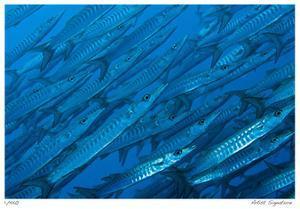 Schooling Barracuda by Jones-Shimlock