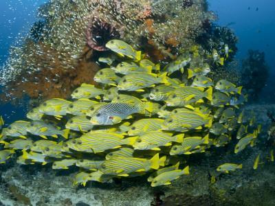 Schooling Sweetlip Fish Swim Past Coral Reef, Raja Ampat, Indonesia