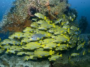 Schooling Sweetlip Fish Swim Past Coral Reef, Raja Ampat, Indonesia by Jones-Shimlock