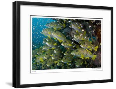 Schooling Sweetlips with Glassfish