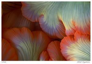 Sea Anemone by Jones-Shimlock