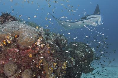 Giant Manta Ray at Cleaning Station by Jones/Shimlock-Secret Sea Visions