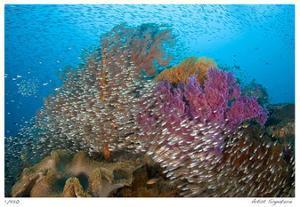 Soft Corals and Glassfish by Jones-Shimlock