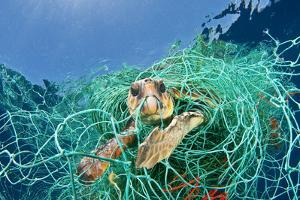 Loggerhead Turtle (Caretta Caretta) Trapped in a Drifting Abandoned Net, Mediterranean Sea by Jordi Chias