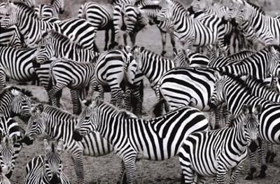 Zebras Abstraction by Jorge Llovet