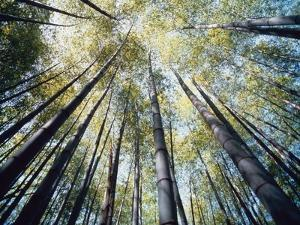 Bamboo Trees in Rainforest, Japan by Jos? Fuste Raga