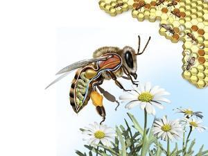 Bee Anatomy, Artwork by Jose Antonio