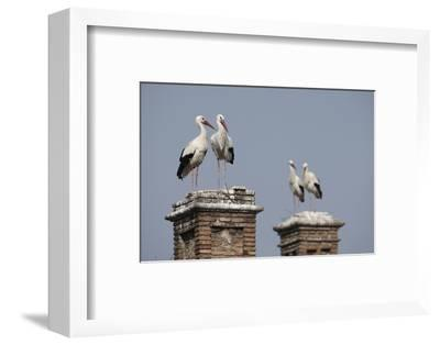 White Stork (Ciconia Ciconia) Breeding Pairs on Chimney Stacks, Spain