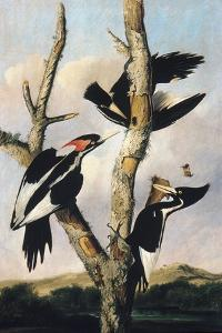 Ivory-billed Woodpeckers, c.1830-31 by Joseph Bartholomew Kidd