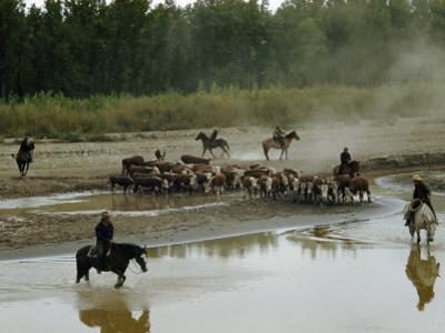 Cowboys on a Roundup Drive a Herd of Whiteface Cattle across a River