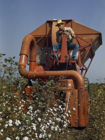 Farmer Drives a Mechanical Picker Through a Cotton Field