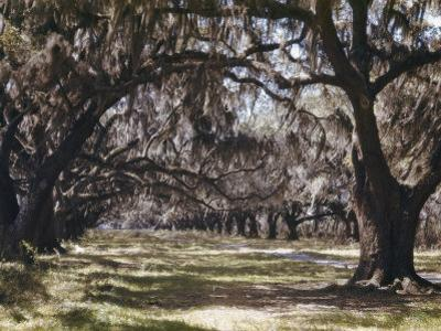 Moss Growing on Versailles Oak Trees