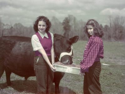 Teen Girls Feed an Aberdeen-Angus Bull Fat-Forming Sweet Potatoes