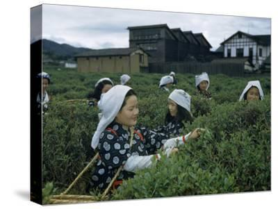 Women Harvest Tea Leaves Near a Processing Plant