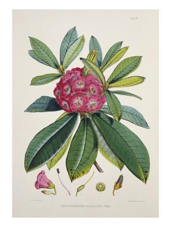 Rhododendron Barbatum, from 'The Rhododendrons of Sikkim-Himalaya'
