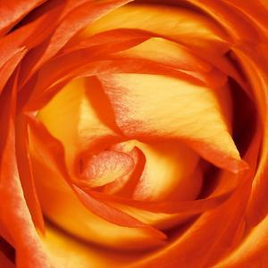 Red Lipped Yellow Rose by Joseph Eta