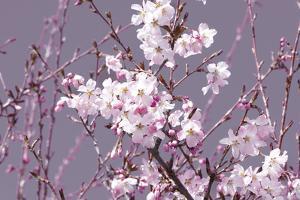 Spring Blossom - Pink by Joseph Eta