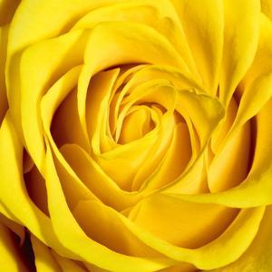 Yellow Rose by Joseph Eta