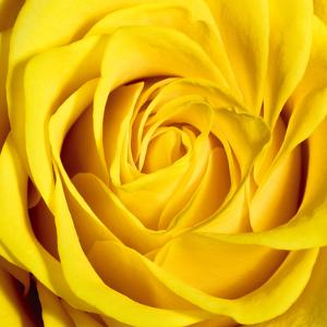 Yellow Rose by Joseph Eta