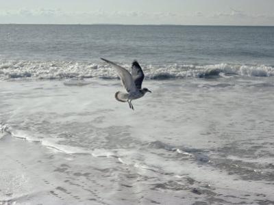 A Sanderling, with Wings Spread, is Frozen in Flight over the Foamy Atlantic Surf