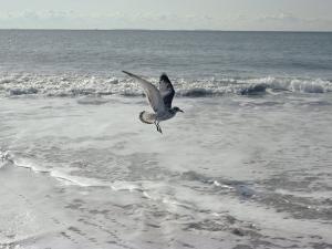 A Sanderling, with Wings Spread, is Frozen in Flight over the Foamy Atlantic Surf by Joseph H. Bailey
