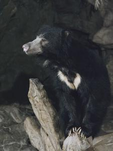 A Sleepy Sloth Bear Takes a Breather Outside its Cave by Joseph H^ Bailey