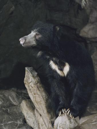 A Sleepy Sloth Bear Takes a Breather Outside its Cave